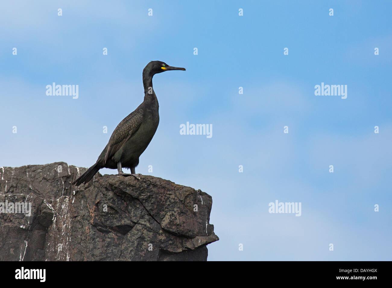 Shag - Stock Image
