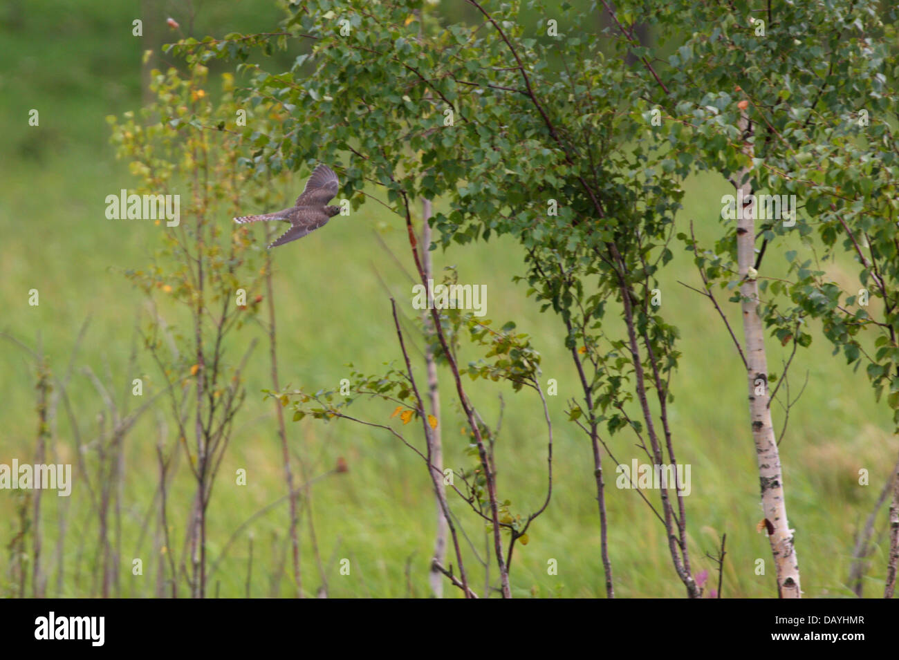 Common Cuckoo (Cuculus canorus) in flight. - Stock Image
