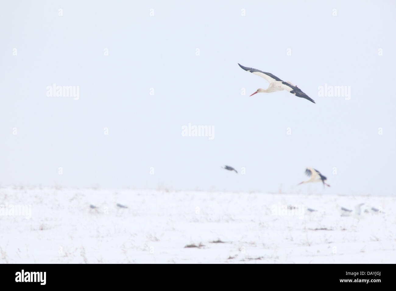 White Storks (Ciconia ciconia) flying over snowy field in spring(April). Europe, Estonia Stock Photo