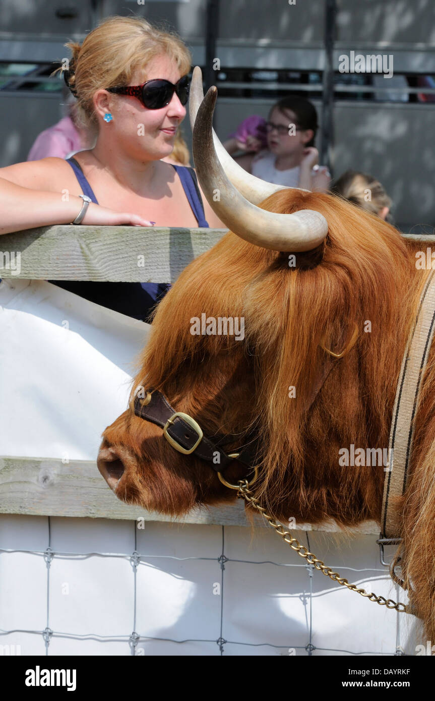 A female spectator and onlookers at a rare breeds show standing behind a brown female highland cow ( portrait orientation - Stock Image