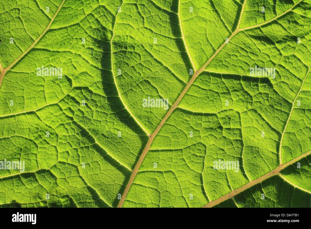 A back- and sidelit leaf of Common Butterbur (Petasites hybridus) close-up. Photographed at Kvak Mølle, Denmark. - Stock Image