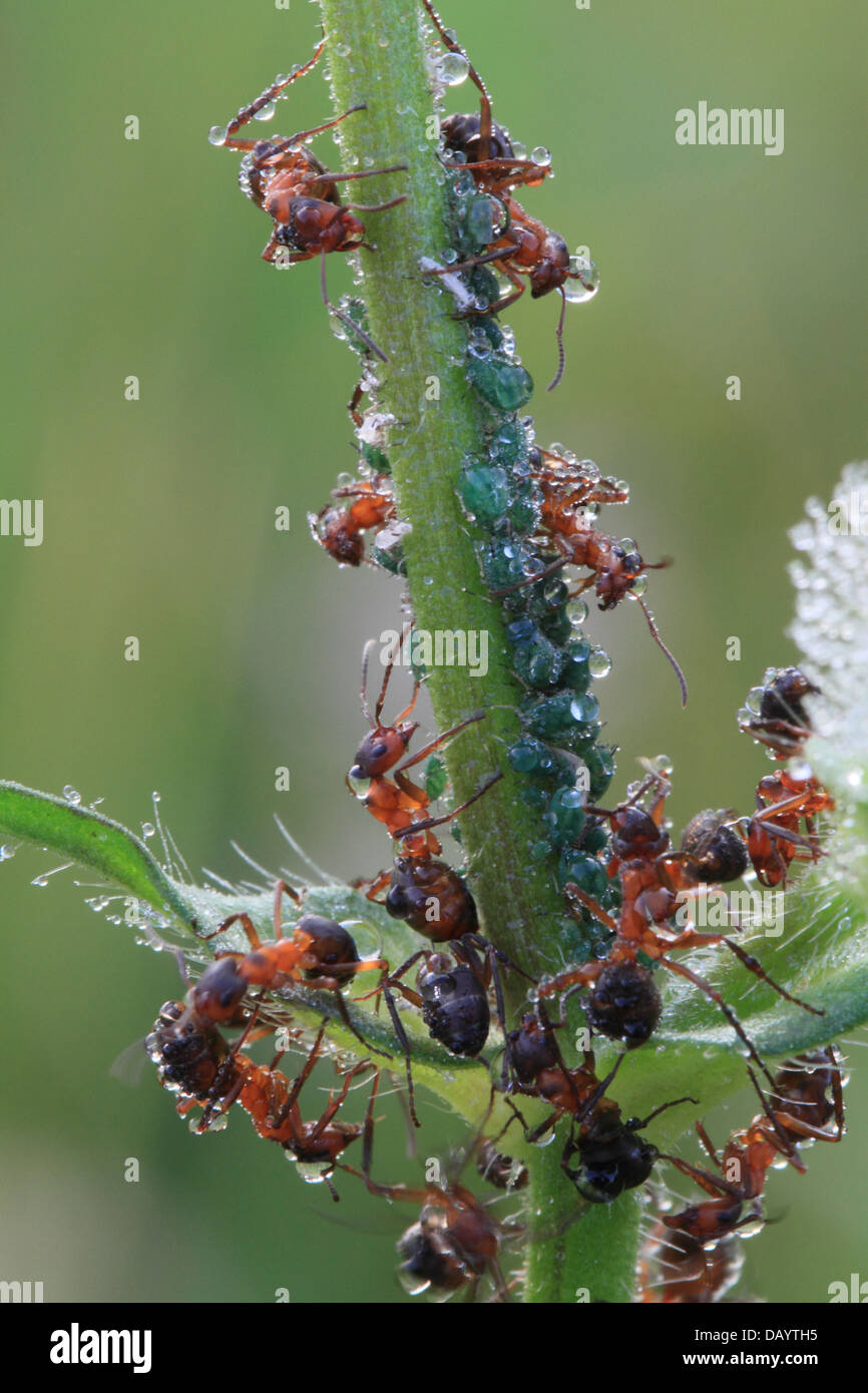 Ants and aphids covered in dew drops an early morning. Photographed in Hune, Denmark - Stock Image
