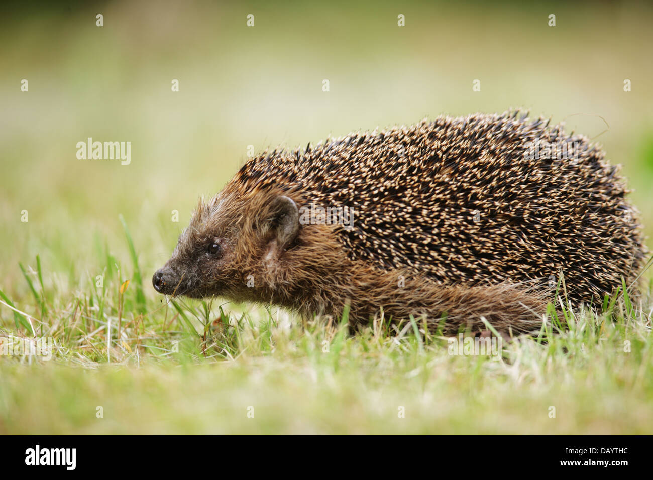 Hedgehog (Erinaceus europaeus) on a lawn. Photographed in Randbøldal, Denmark - Stock Image