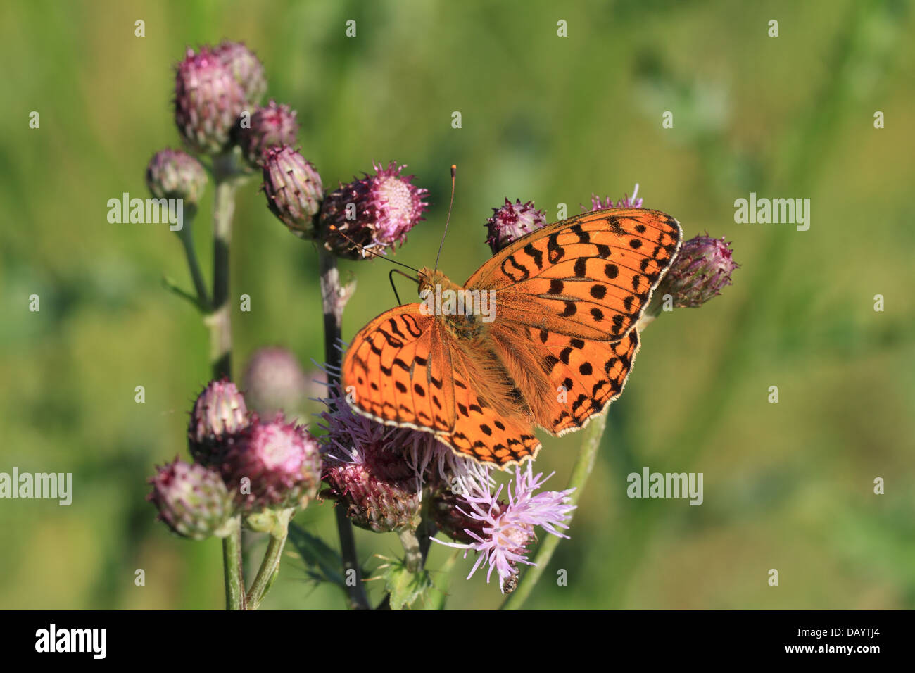 High Brown Fritillary (Argynnis adippe) male fouraging. Photographed in Hune, Denmark. - Stock Image