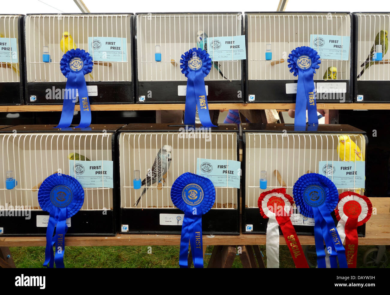 Prize winning budgerigars at Stithians show in Cornwall, UK - Stock Image