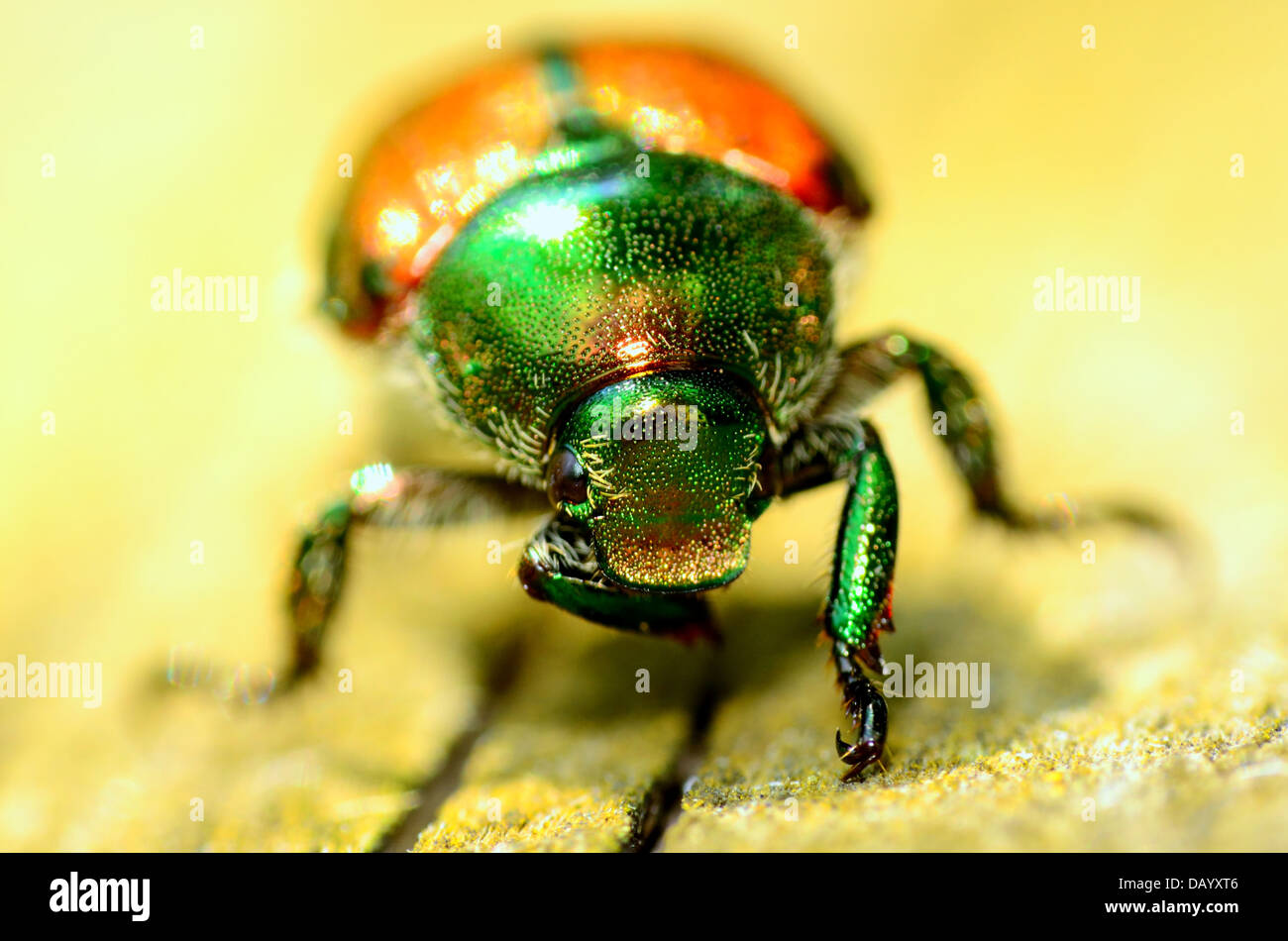 A Japanese Beetle perched on a wooden plank. - Stock Image