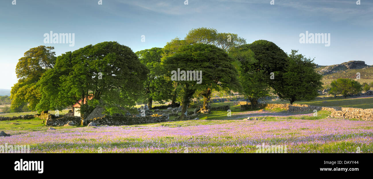 Late evening light falls upon the bluebells on Emsworthy's western lawn and the Oaks surrounding the much revered - Stock Image