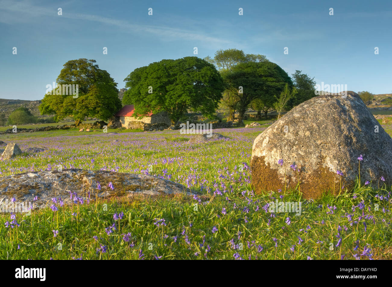 Late evening light falls upon the bluebells on Emsworthy's western lawn and the Oaks surrounding the much revered Stock Photo