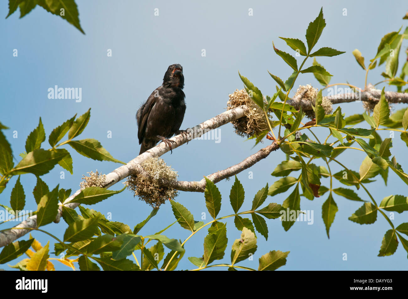 Stock photo of a cactus finch siting in a tree on Santa Cruz Island, Galapagos. - Stock Image