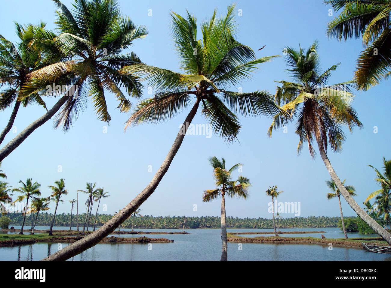 Coconuts Kerala Stock Photos & Coconuts Kerala Stock ...