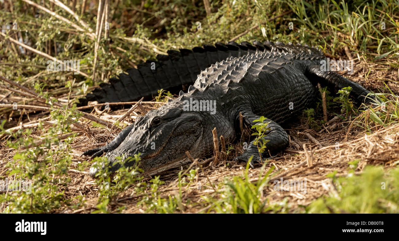 American Alligator (Alligator mississippiensis) sunning himself on a bank in the Paynes Prairie Preserve in Florida. - Stock Image
