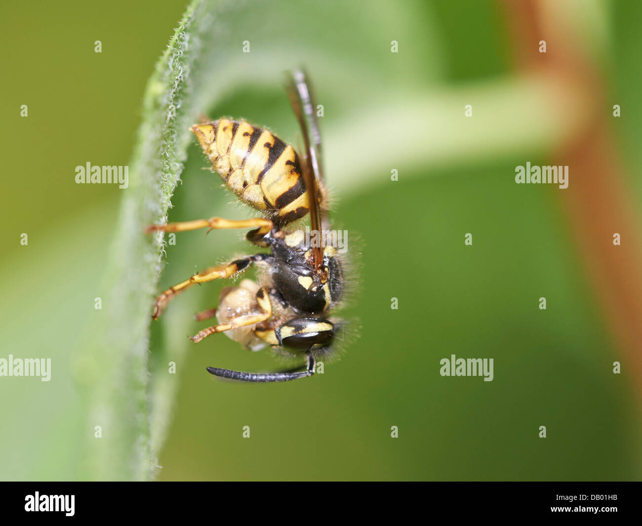Common Wasp with prey Stock Photo