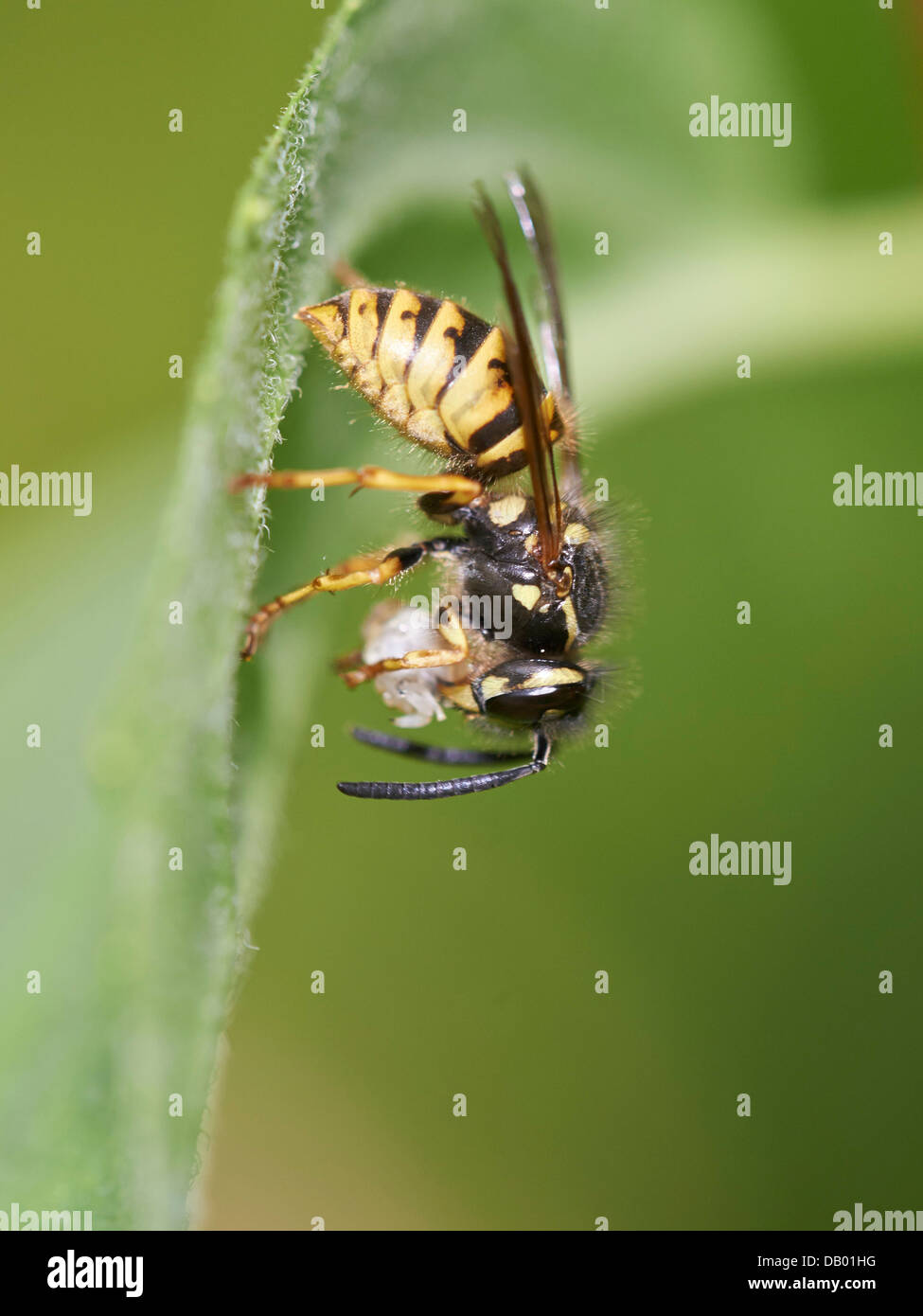 Common Wasp with prey - Stock Image