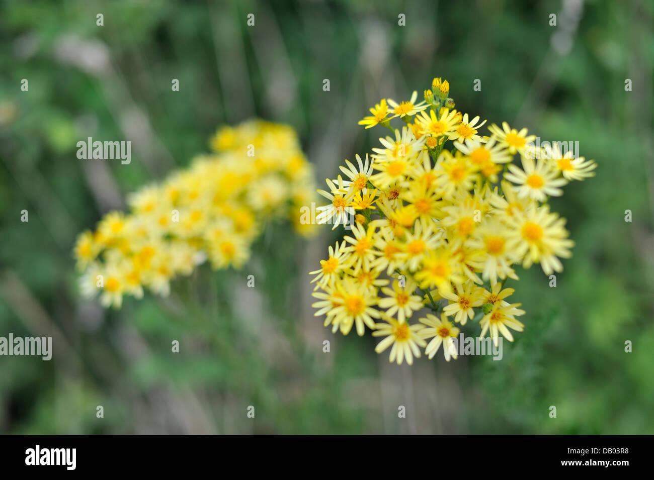 Flowering Common Ragwort (Senecio jacobaea), The Downs, Bristol, UK Stock Photo