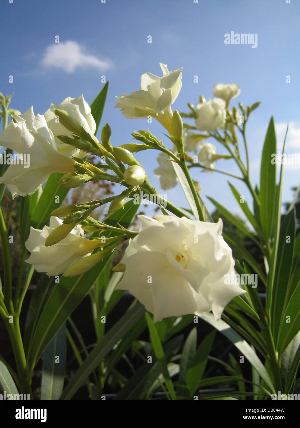 White Oleander Stock Photos White Oleander Stock Images Page 2