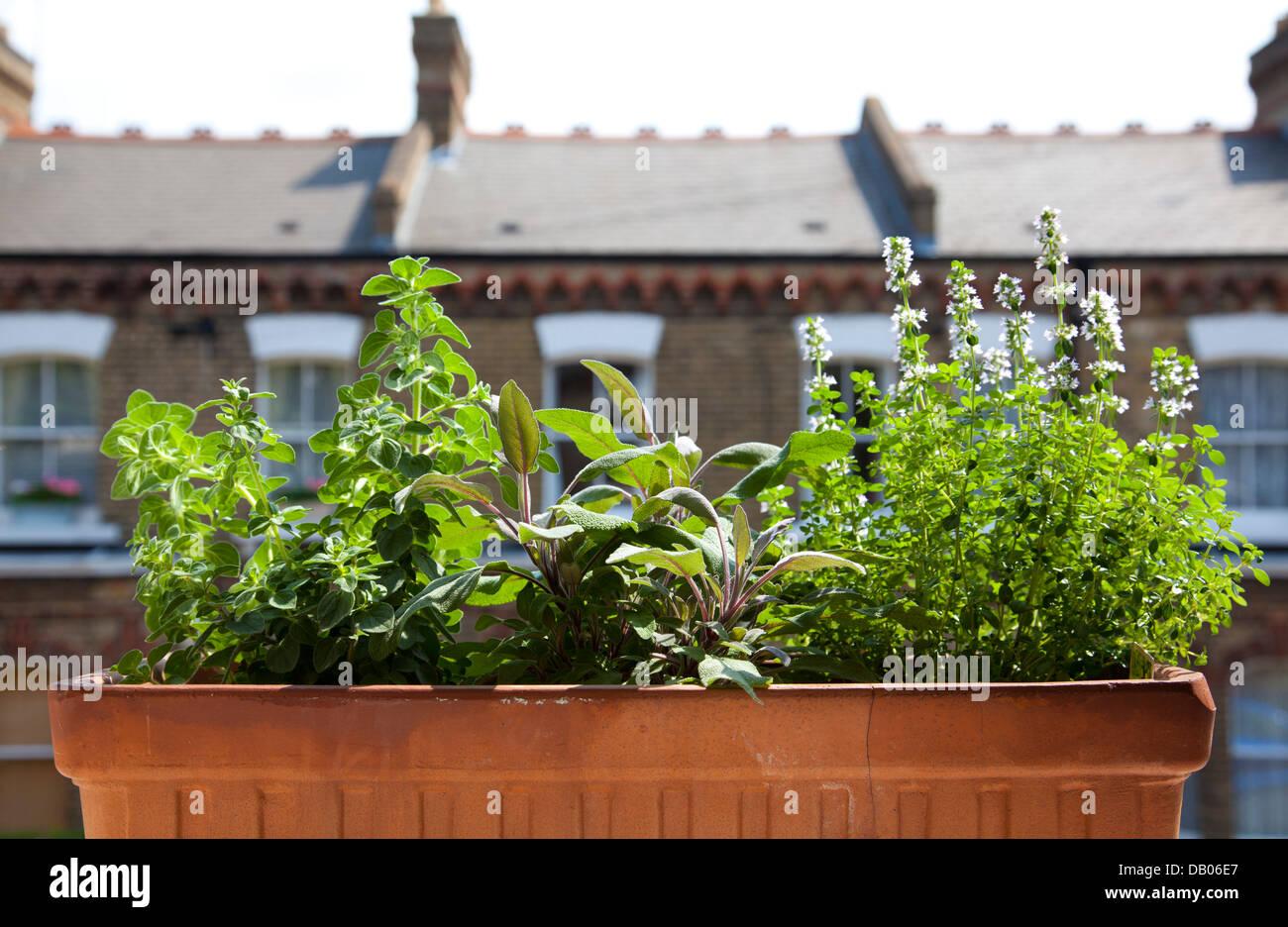 Oregano, Sage and Lemon Thyme growing in Window Box of London Home - UK - Stock Image