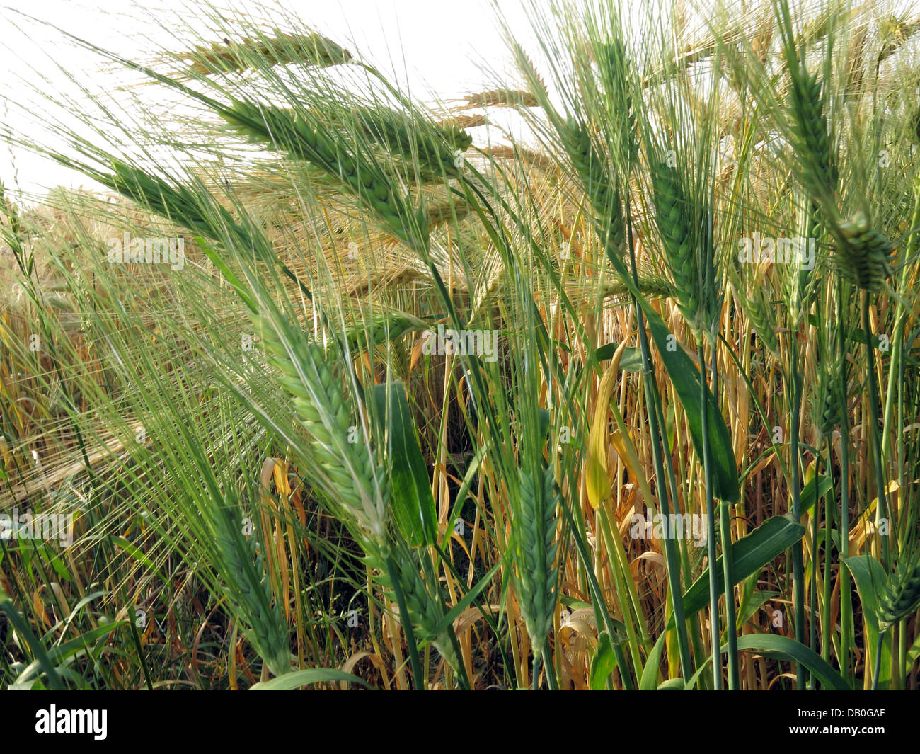Field of wheat nearly ready for harvest in Grappenhall, Cheshire, NW England, UK - Stock Image