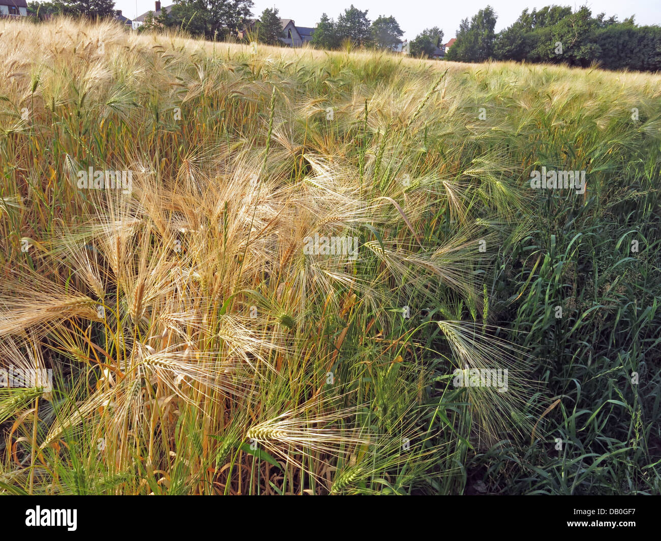Field of wheat ready for harvest in Grappenhall, Cheshire, NW England, UK - Stock Image