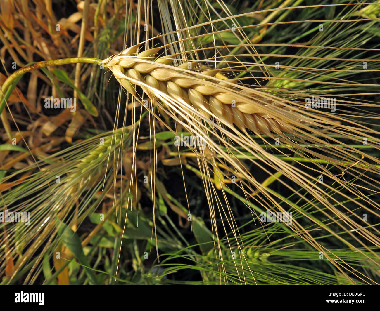 Wheat in a field ready for harvest in Grappenhall, Cheshire, NW England, UK - Stock Image
