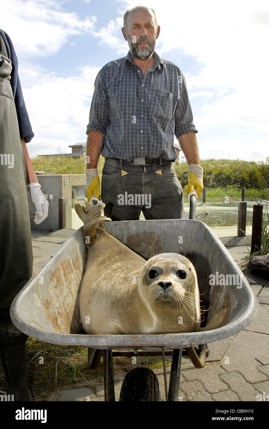 Seal keeper Delf Wille returns seal 'Max' to the wild in a wheel barrow at North Sea seal station Friedrichskoog, - Stock Image