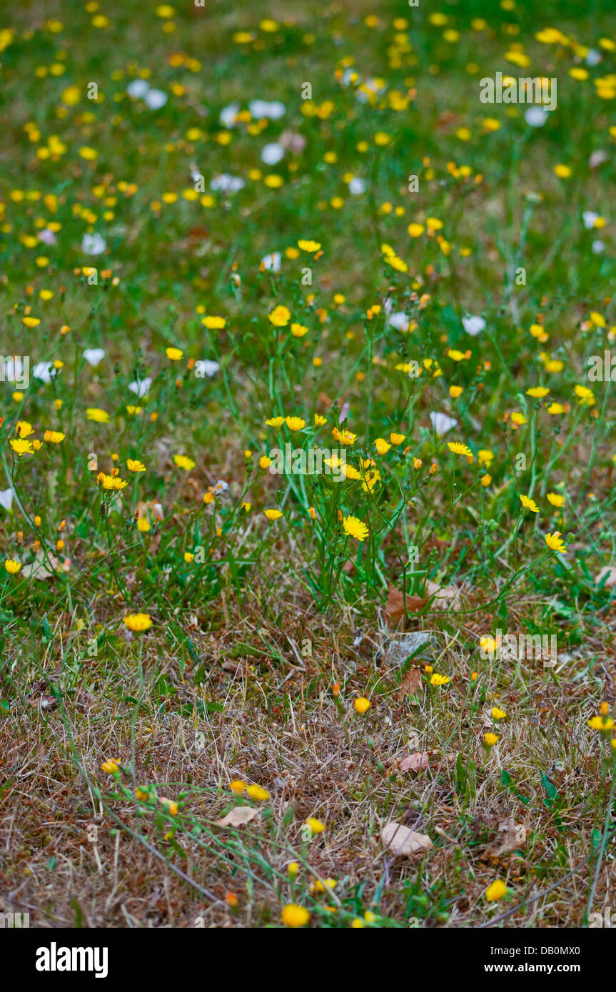 Weeds in a neglected grass garden lawn - Stock Image