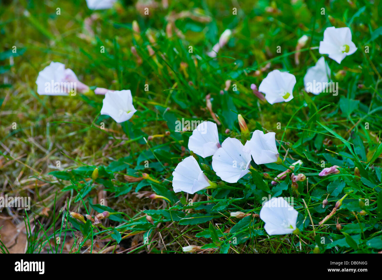 Field Bindweed in lawn - Stock Image