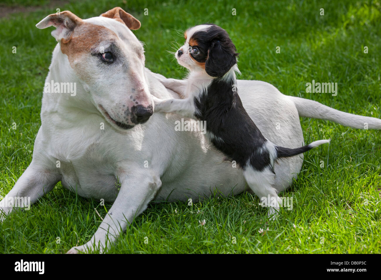 Cute Cavalier King Charles Spaniel Puppy Playing With Bull Terrier Stock Photo Alamy