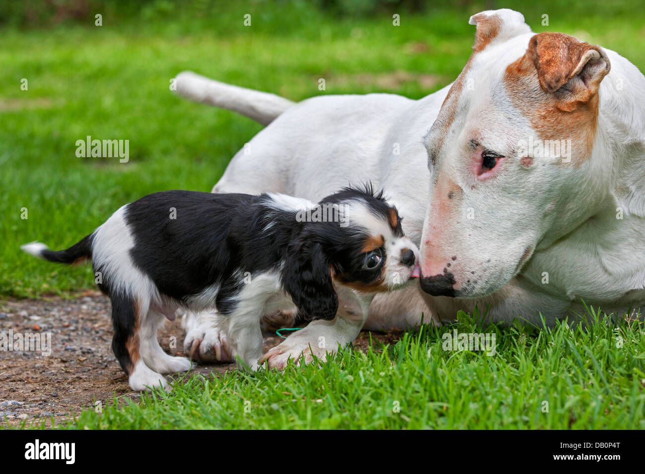 Cute Cavalier King Charles Spaniel Puppy Greeting Bull Terrier Dog In Stock Photo Alamy