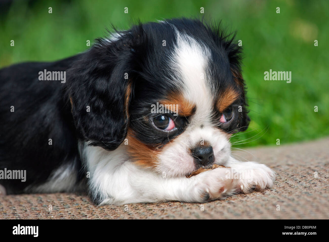 Cute Cavalier King Charles Spaniel Pup Lying In Garden Stock Photo Alamy