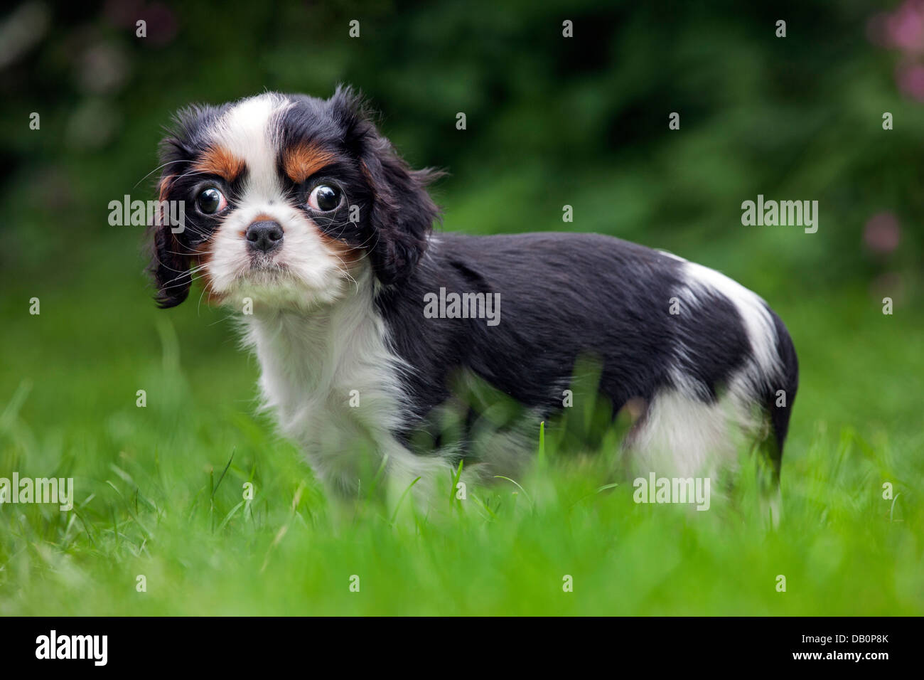 Cute Cavalier King Charles Spaniel Pup In Garden Stock Photo Alamy