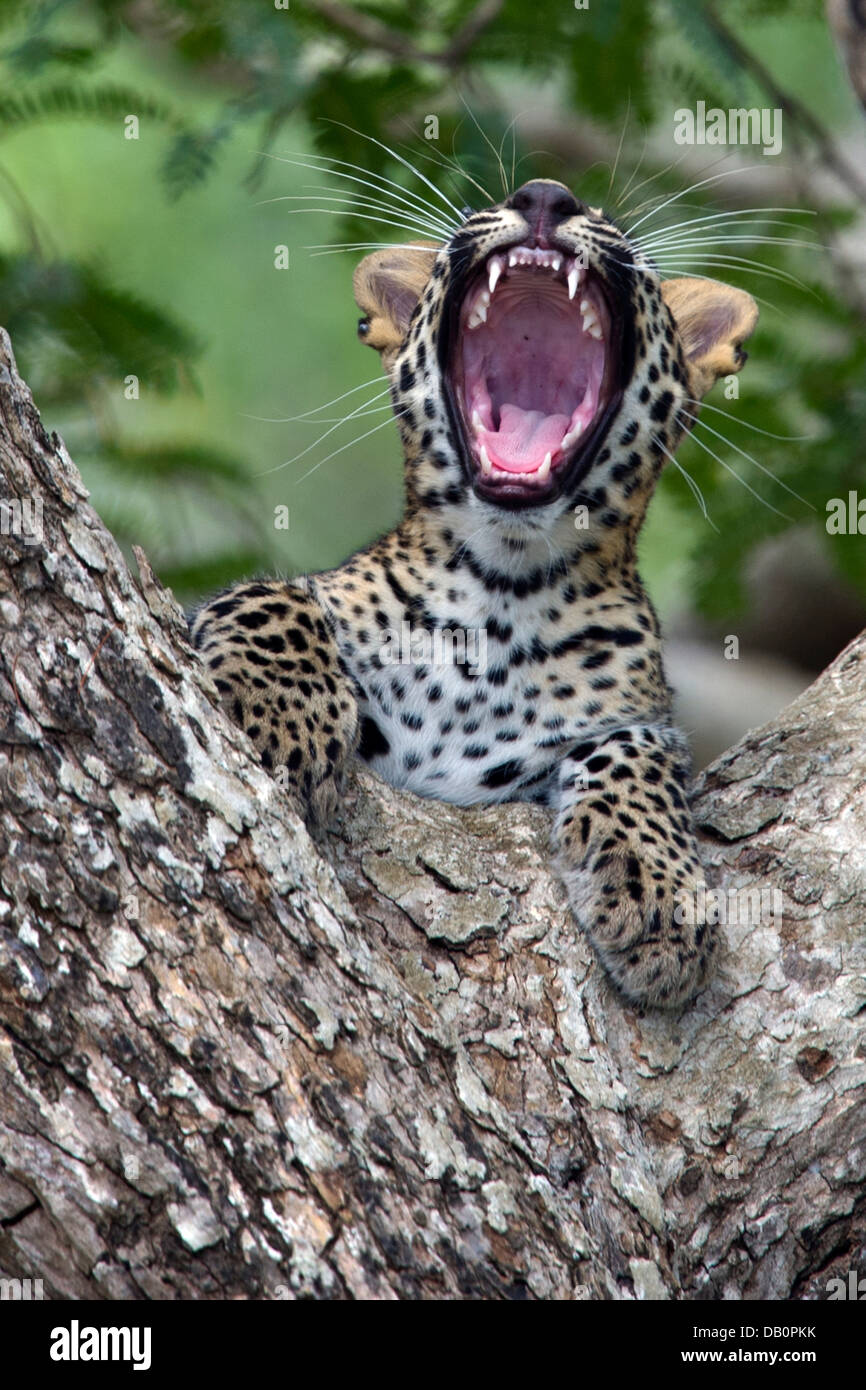 Sri Lankan leopard cub   (Panthera pardus kotiya) - Stock Image