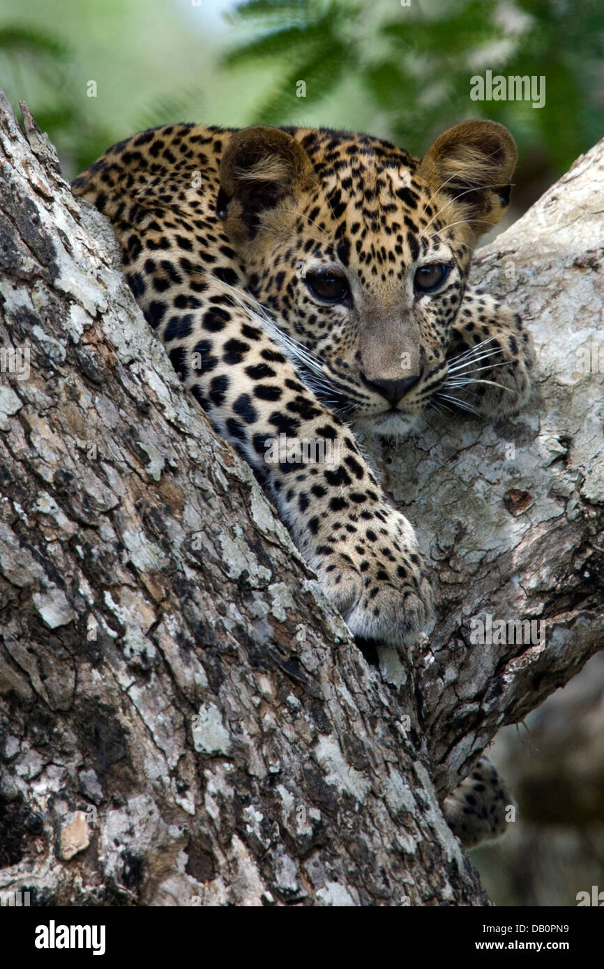 Sri Lankan leopard cub in the fork of a tree   (Panthera pardus kotiya) Stock Photo