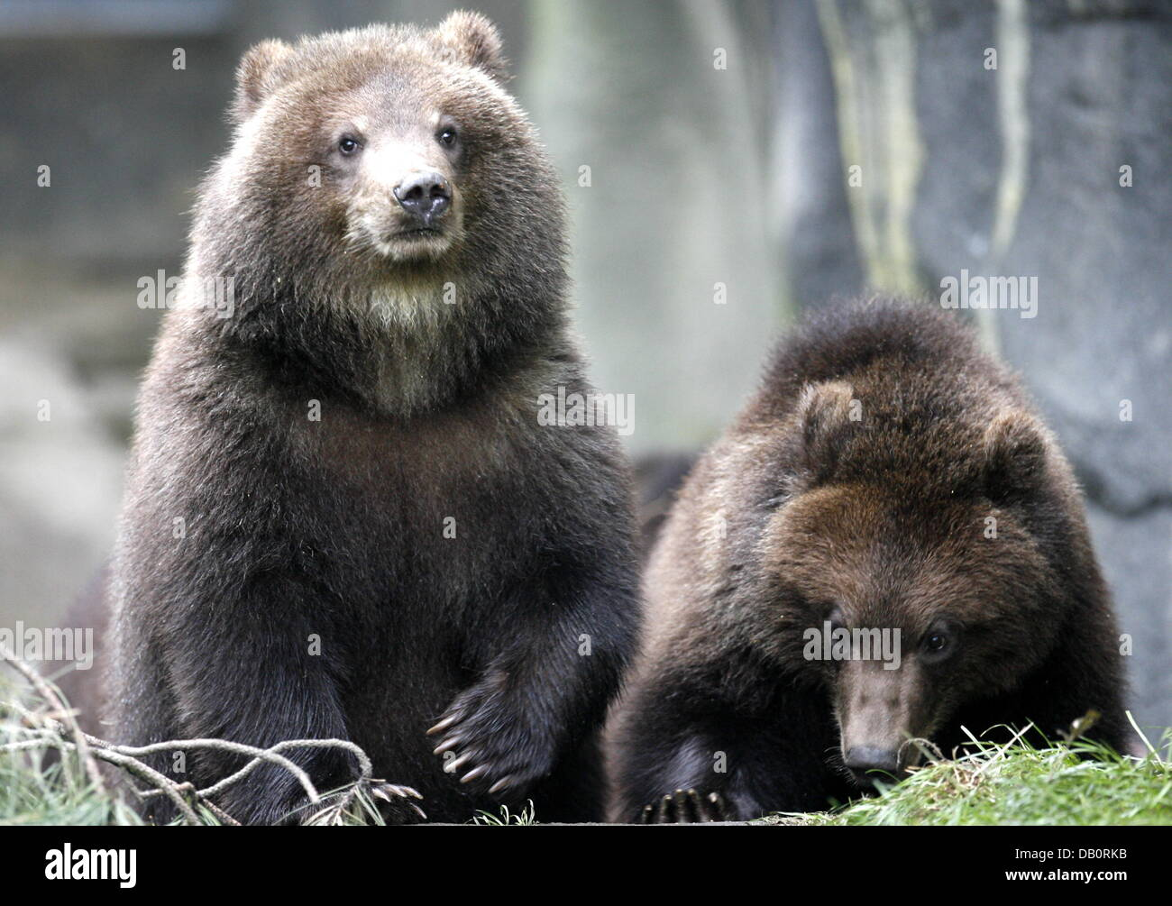 Young Kamchatka Brown Bears frolick around at their outdoor enclosure at the Zoo Hagenbeck in Hamburg, Germany, - Stock Image