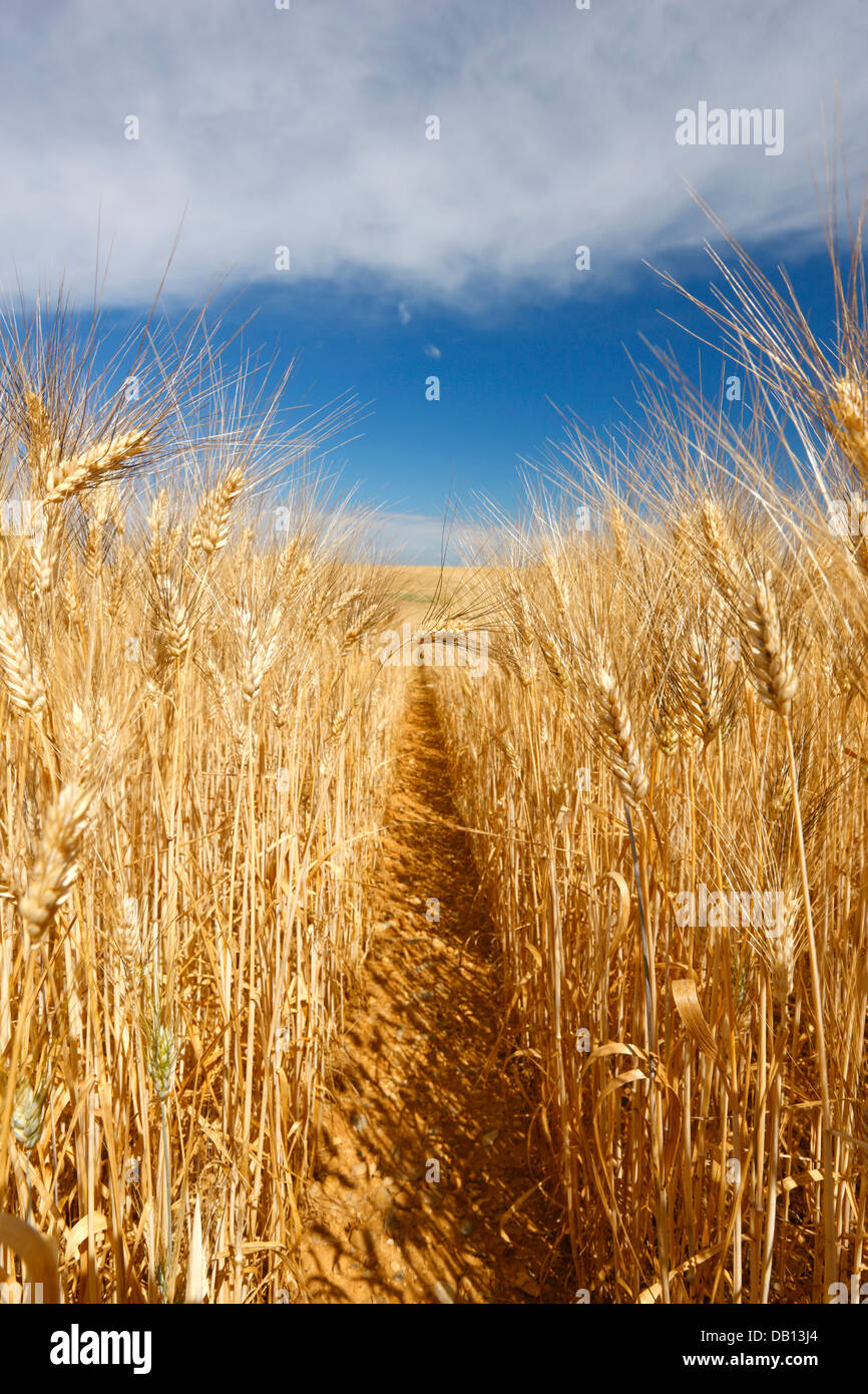 Wheat field, France - Provence - Stock Image