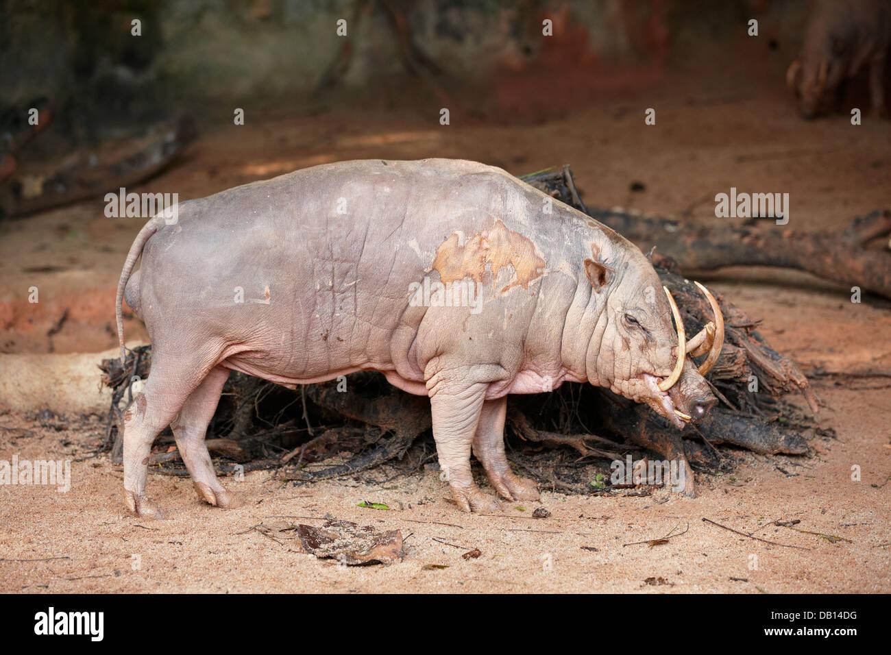 Adult Male Of North Sulawesi Babirusa In Singapore Zoo Scientific Stock Photo Alamy