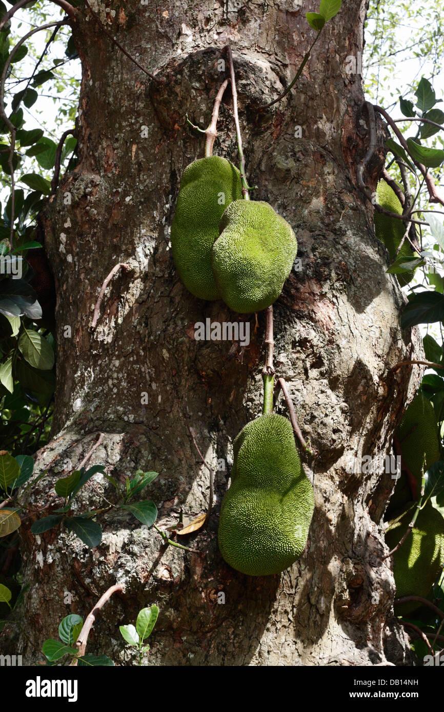 Jack fruit on a tree - Stock Image
