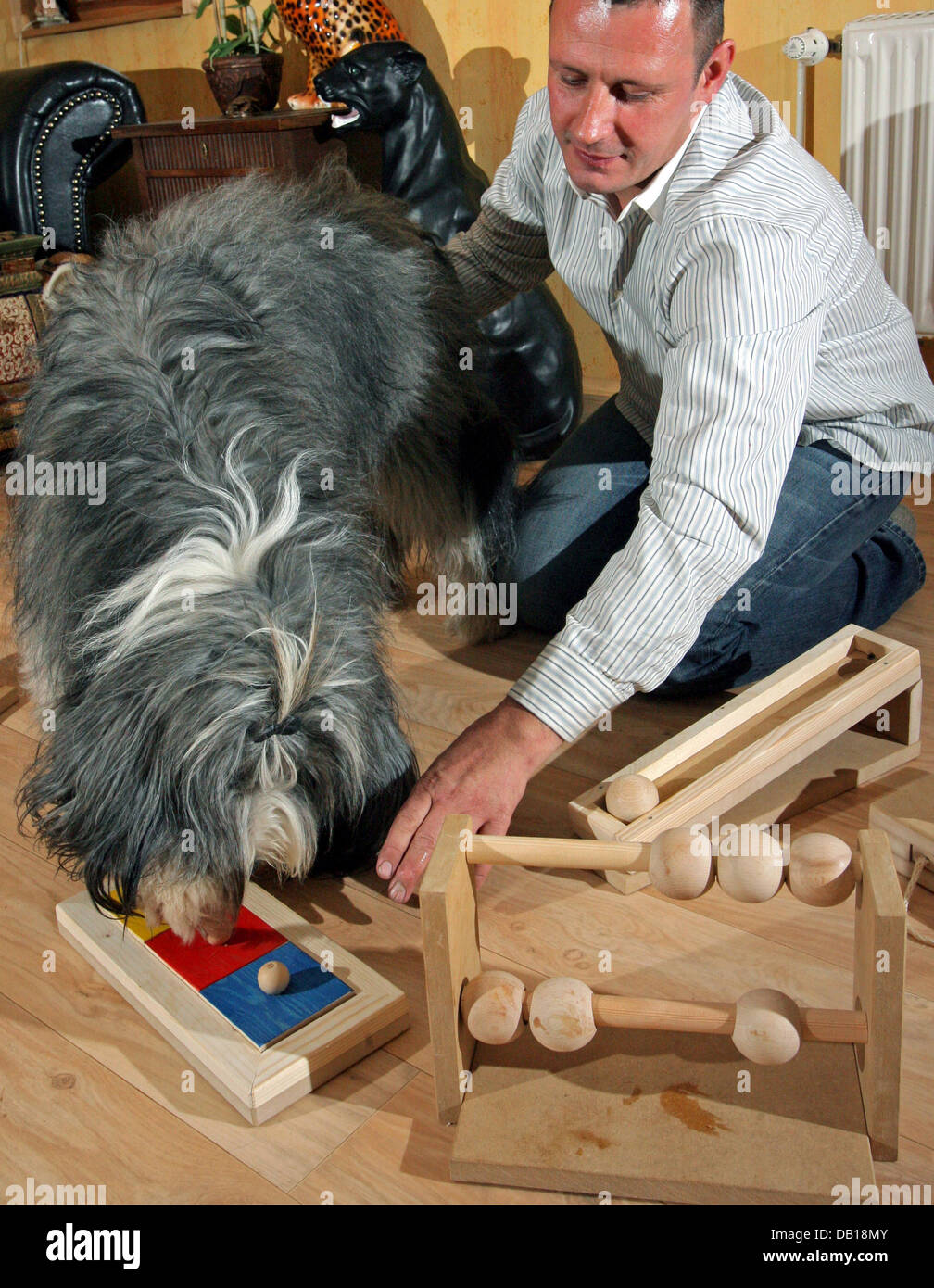 Dogowner Jens Reinhold tests the abilities of his Bearded Collie Anton with toys for intelligent dogs in Zwirtzschen, Stock Photo