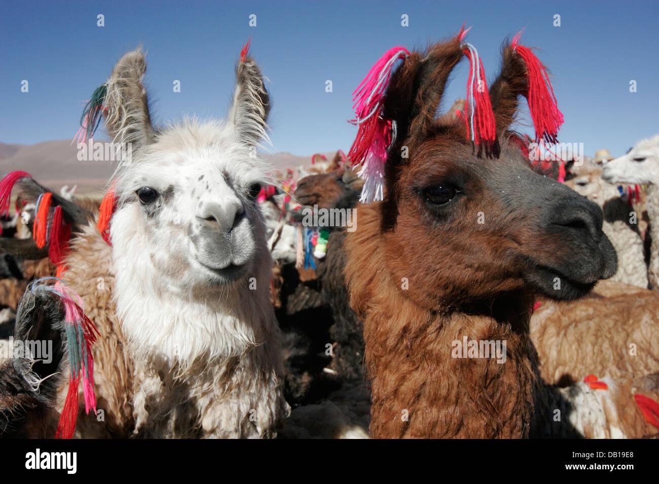Herd of llamas and alpacas, Bolivian Altiplano, Bolivia, South America - Stock Image