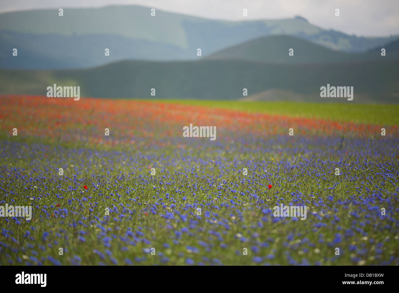 Poppy among the wild flower field of Monte Sibillini, Umbria, Italy. - Stock Image