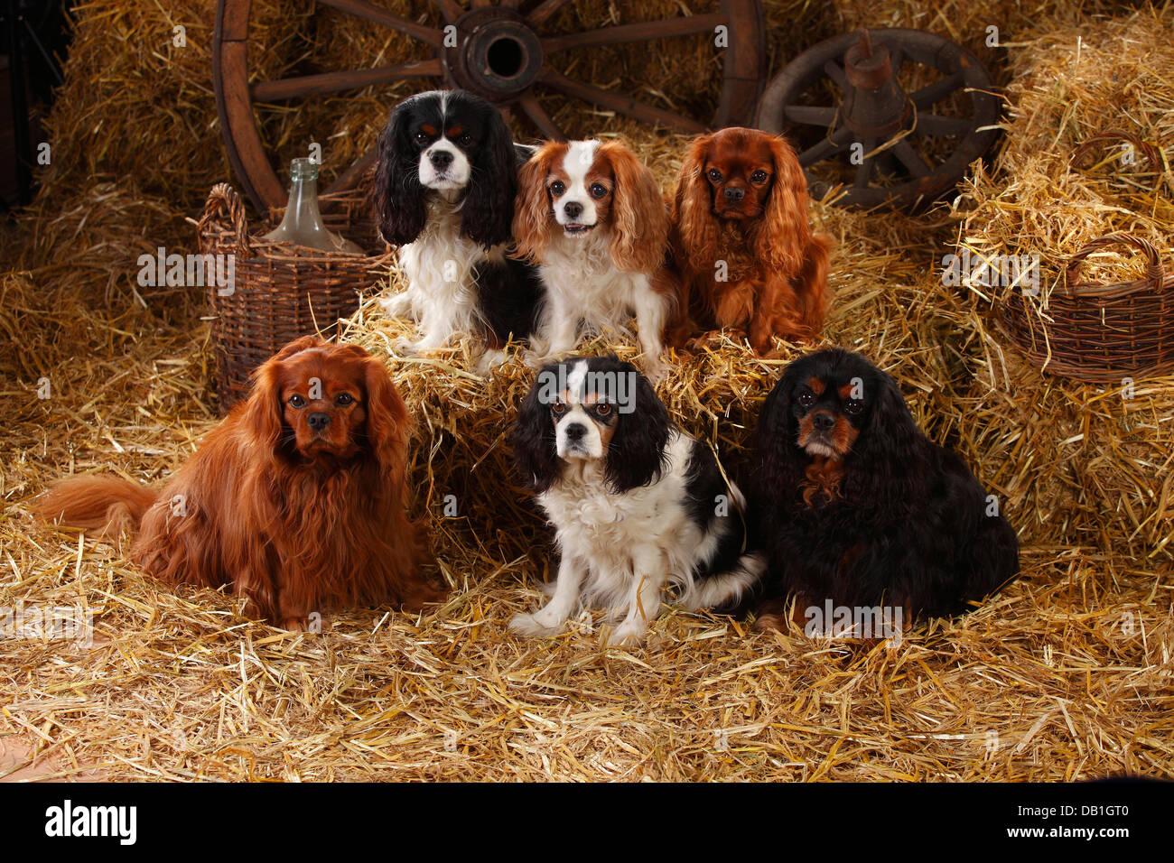 Six Cavalier King Charles Spaniel Stock Photos Six Cavalier King