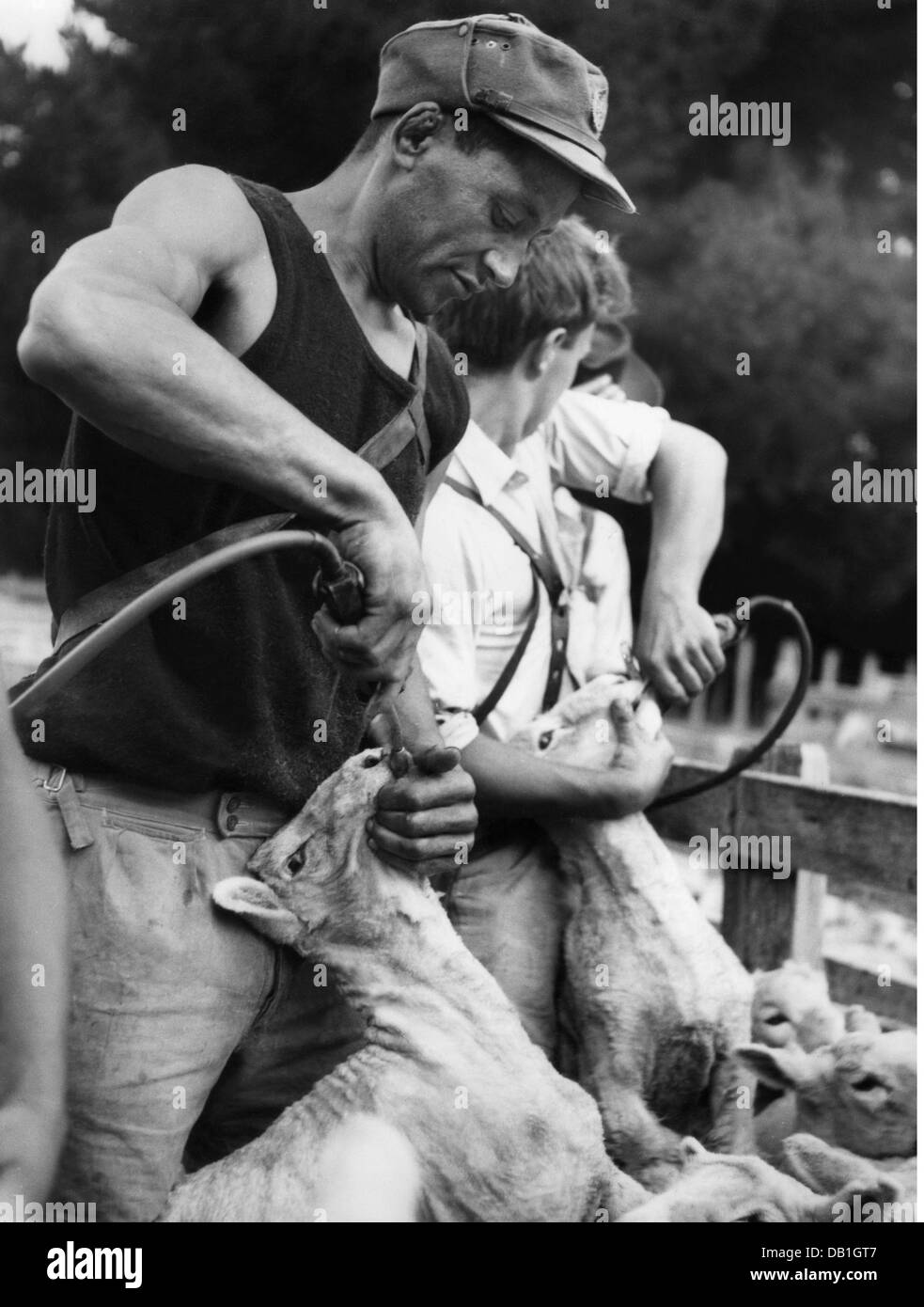 geography / travel, New Zealand, agriculture, sheep shearing, Gisborne, 20th century, 20th century, Oceania, North - Stock Image
