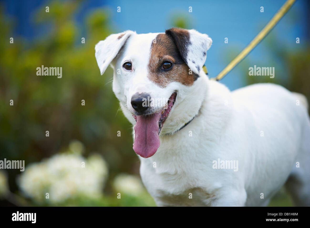 jack russell - Stock Image