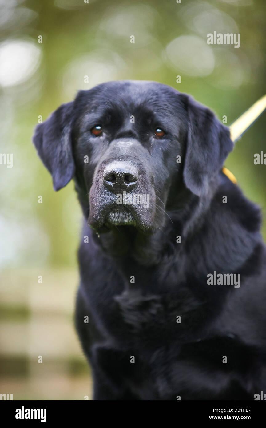 black dog - Stock Image