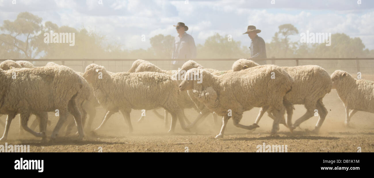 Farmers with a large flock of merino sheep in the dry, dusty outback of Queensland, Australia - Stock Image