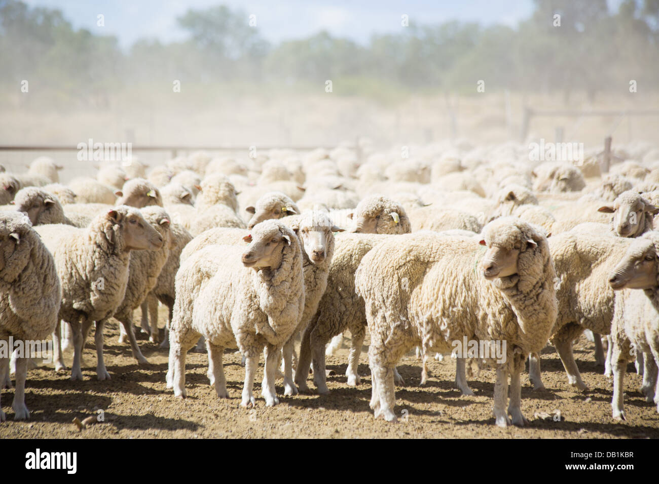 Mob of merino sheep in dry, barren, drought conditions in outback Queensland, Australia - Stock Image