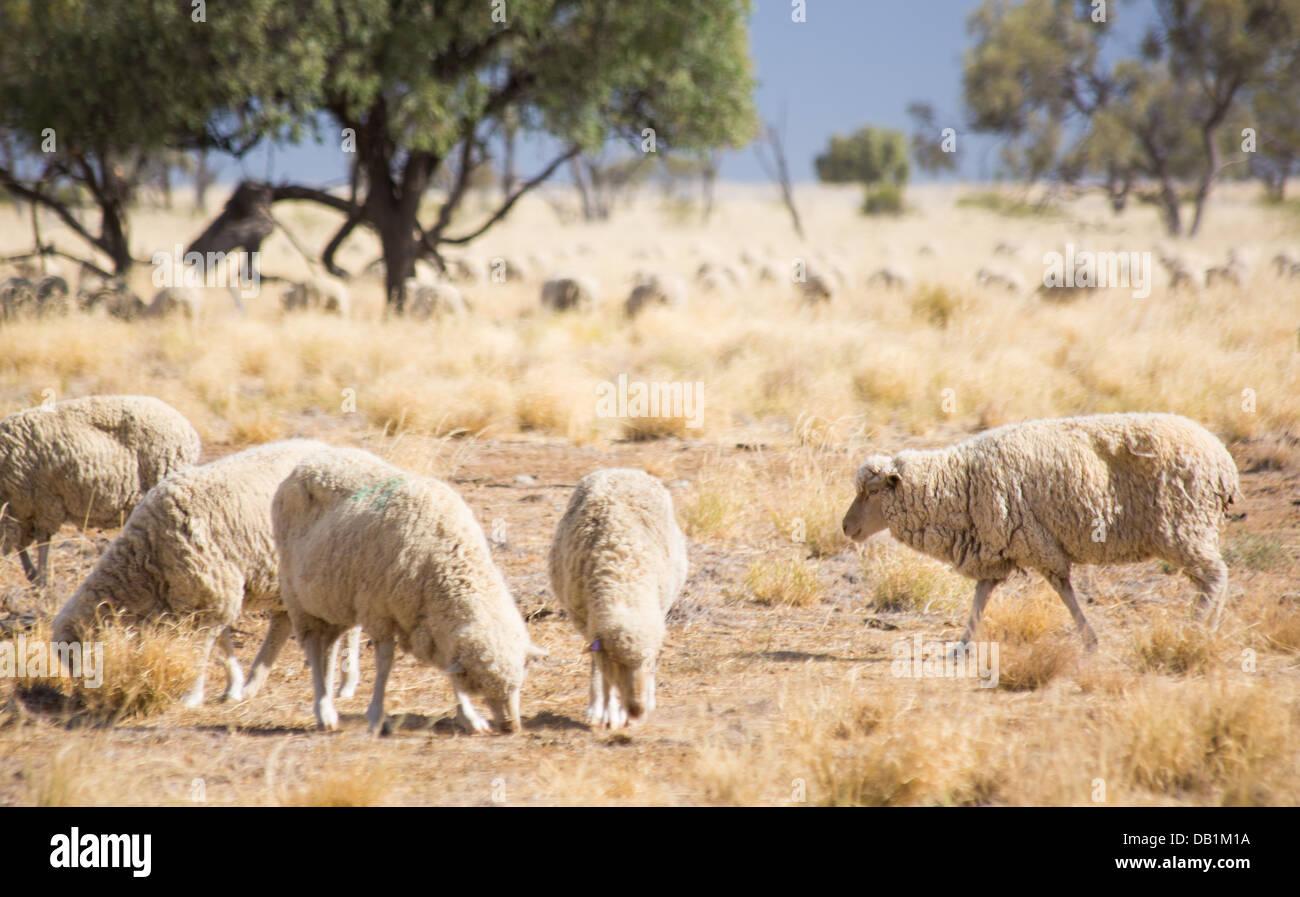 Merino sheep feeding in dry grassland in outback Queensland, Australia - Stock Image