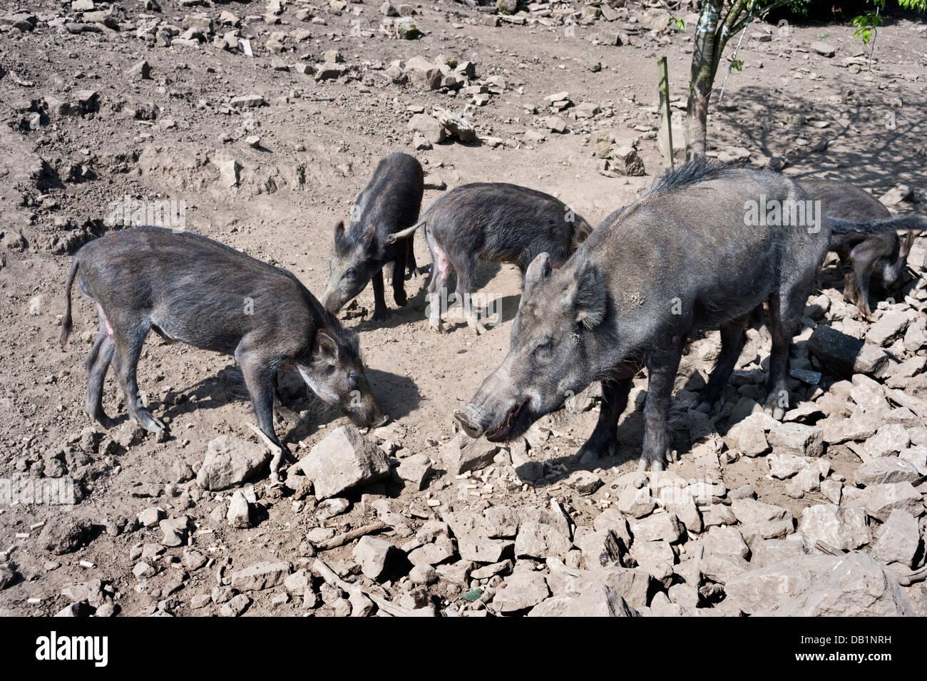 Wild boar graze at Bolton Abbey, North Yorkshire, UK - Stock Image