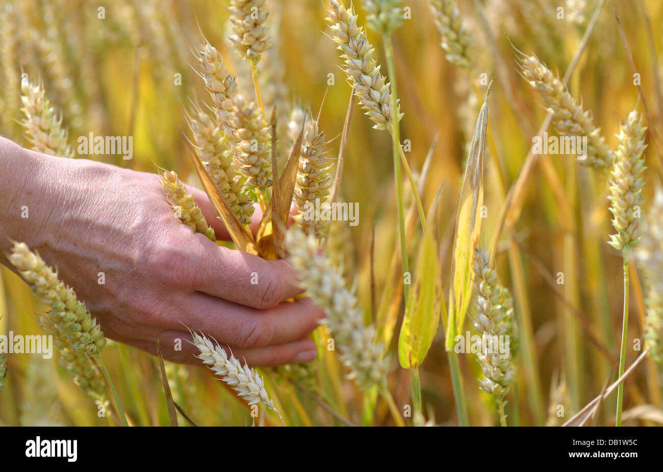 A woman's hand plucking ears of wheat - Stock Image