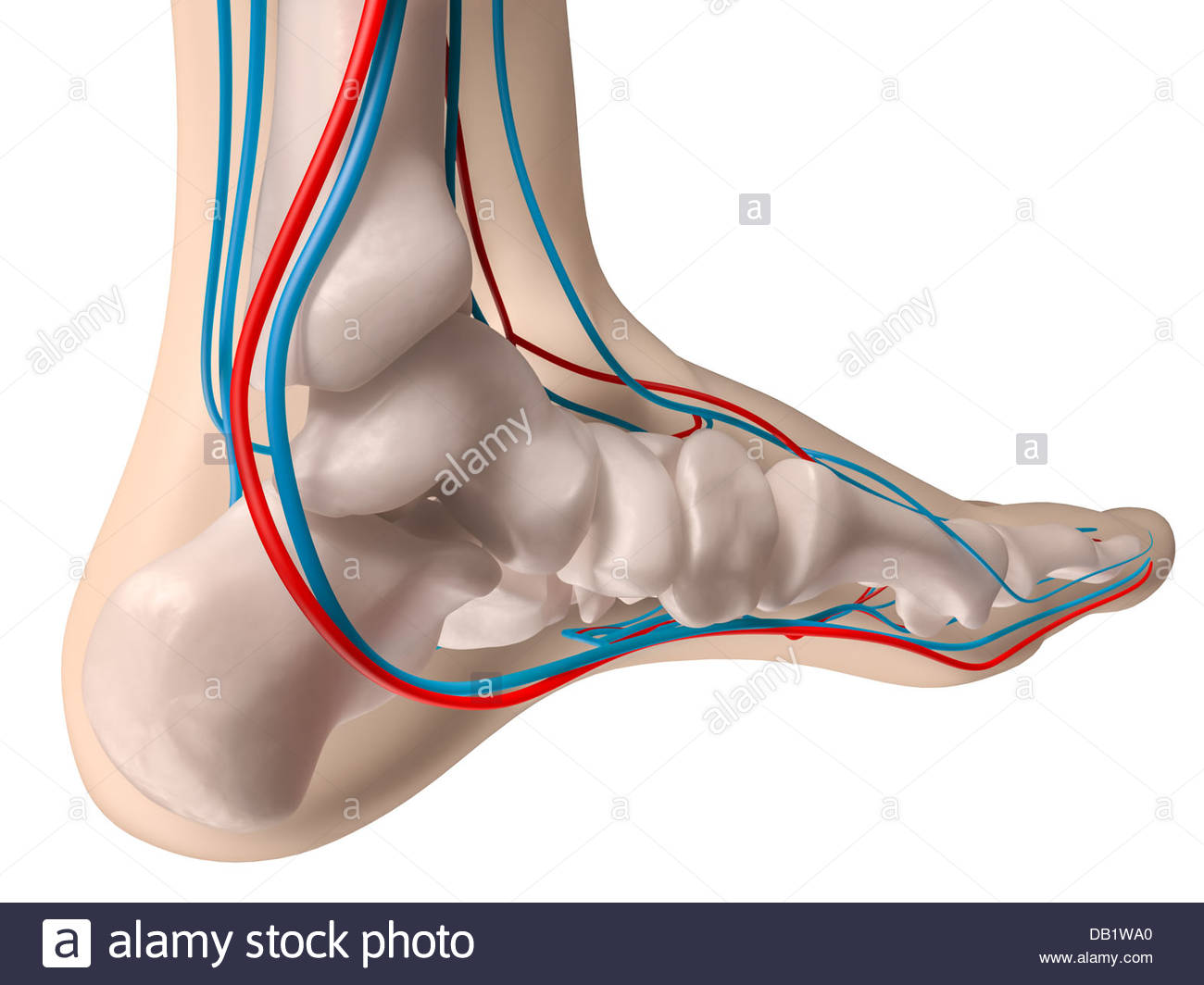 Digital Medical Illustration Depicting The Rear View Of The Foot