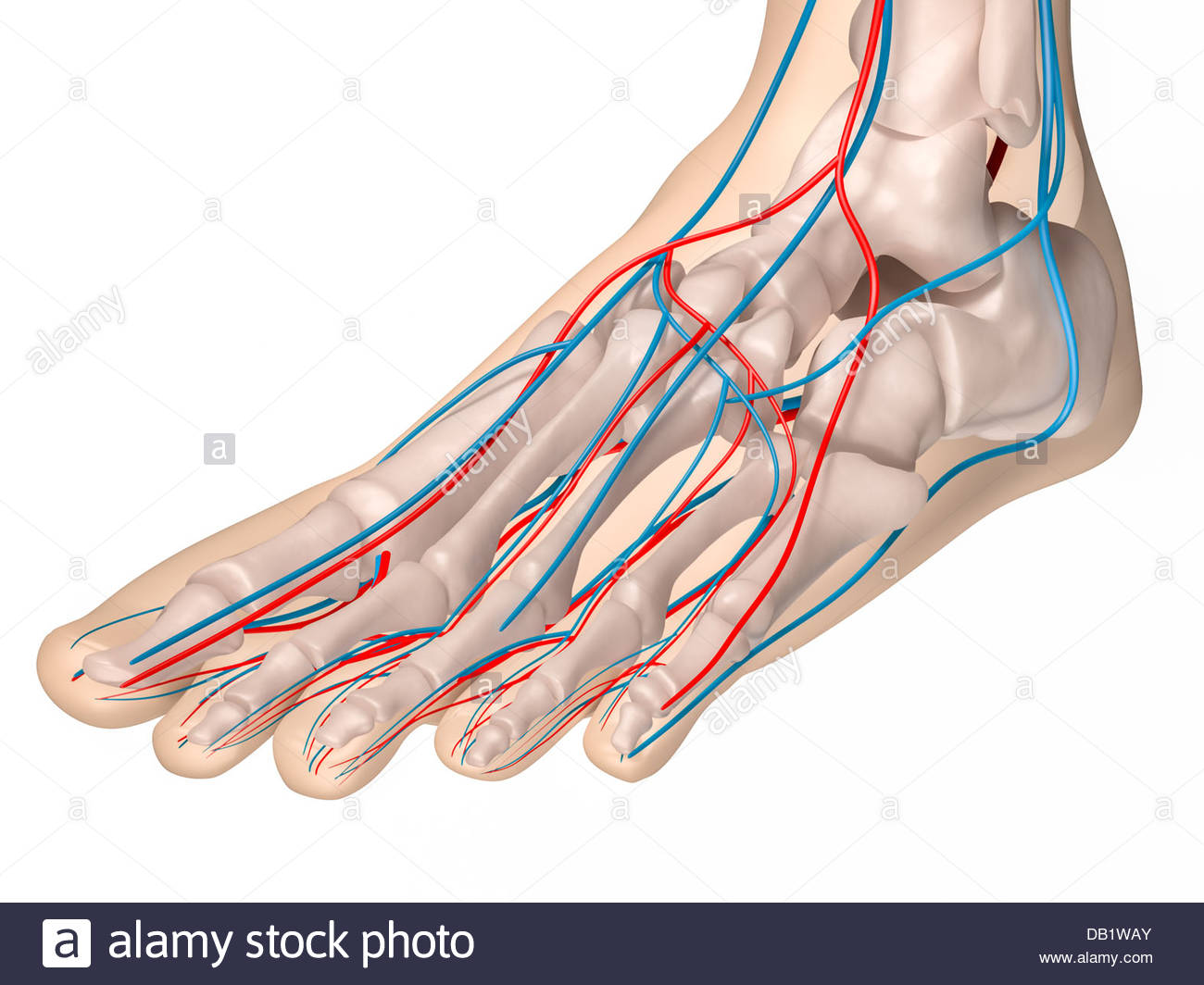 Digital medical illustration depicting the front view of the foot ...